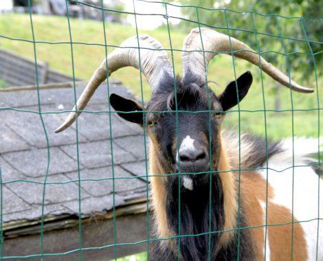 ferme des animaux chèvre©Sebastien_Nesly